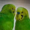 © 2013 Lisa Ryan - Two Parakeets