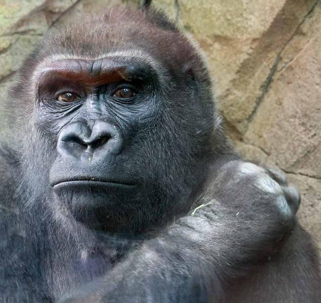 © 2013  Myrna Walsh - King Kong Ponders His Fate