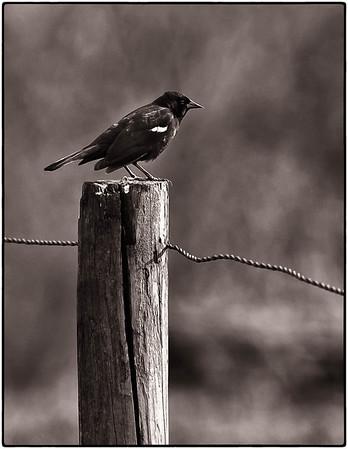 Red-winged blackbird  05 06 11  014 B