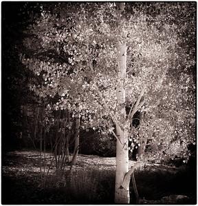Aspen Leaves 10-13-08 009 - Edit-3