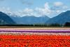 Seabird Island Tulip Field,. Agassiz, B.C.