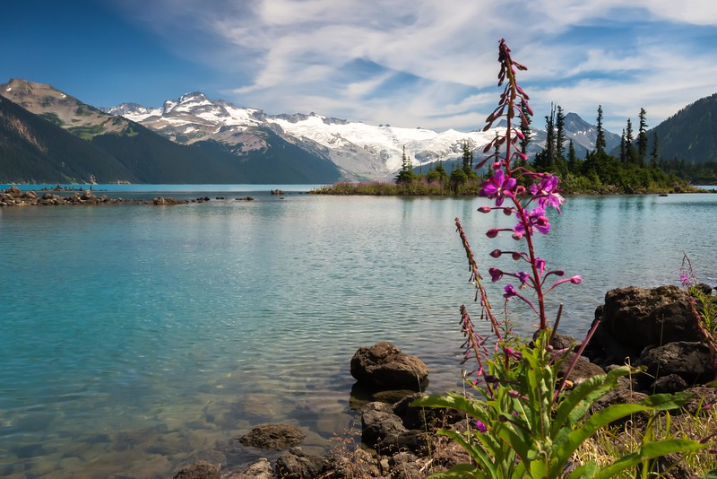 Fireweed at Garibaldi Lake. July 31, 2015