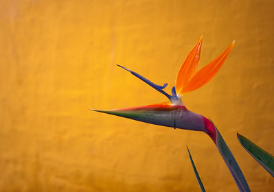 Bird of Paradise, Lake Atitlan, Guatemala.