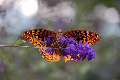 Butterfly, Georgia, USA.