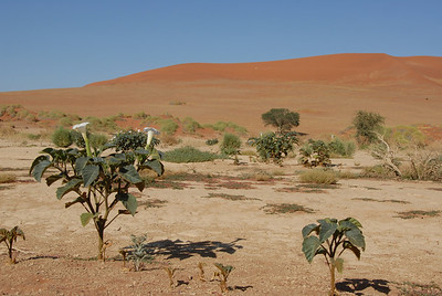 Flowering plants, Sossusvlei, Namibia.