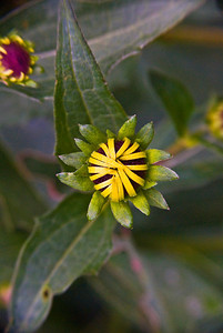 Budding Sunflower Blossom, Georgia, USA