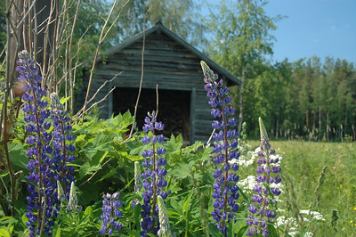 Flowers and wood shed, rural Finland.