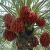 Date palms, rural Oman.
