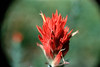 Sometimes optical experiments work. I took this shot of an Indian Paintbrush flower on my first hike up to Pine Creek in Montana way back in 1971. I didn't have a macro lens or even an SLR camera. I unscrewed one of the objective lenses on a pair of binoculars and used it as a magnifying glass. I held my old rangefinder up to the binocular lens and pulled the shutter. I've shot dozens of images of Indian Paintbrush flowers over the years but I still like this one the best.