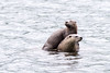 River Otters - Mother and Pup