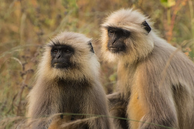 Langur monkeys,  Kahna National Park, India