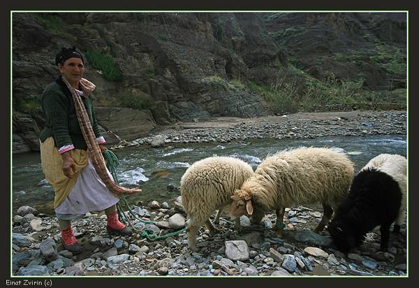 Three Lambs for Mary