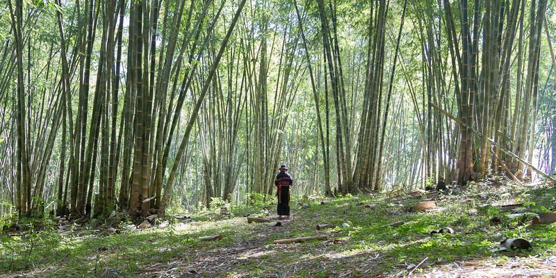 Asper bamboo, Dendrocalamus asper