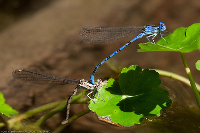 Argia Dancer Damselflies