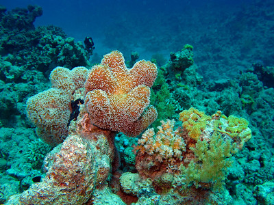 Only when flashing at the corals the true colors come alive due to the light absorption underwater...