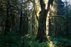 Hoh, Rainforest - Large maple tree backlit by sun