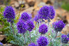 Harts Pass, Tatie Peak - Purple and yellow Silky Phacelia wildflowers, close up view of bunch