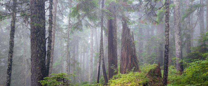 North Cascades, Thornton Lakes - Foggy forest with large snag center right