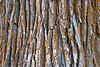 Methow, Winthrop - Close up of bark on cottonwood tree