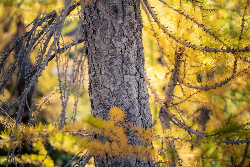Stuart, Ingalls - Close up of large larch trunk