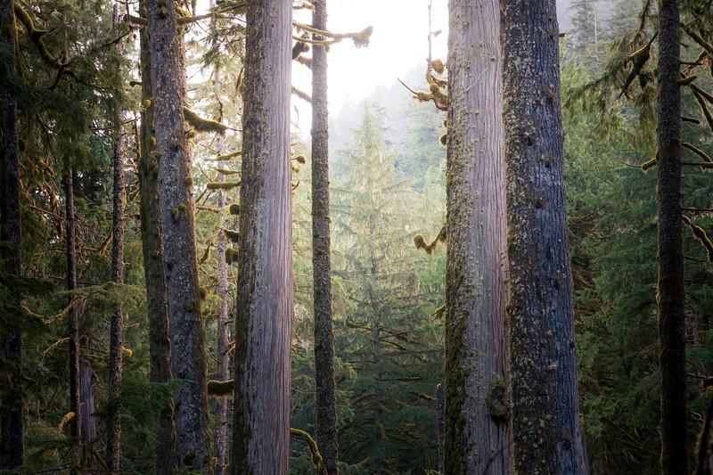 Rainier, Carbon River - Grove of tall trees against bright sky