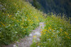 Whatcom, Winchester Mountain - Trail through the last of summer flowers