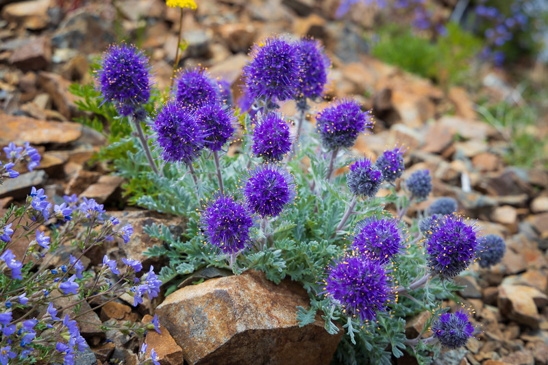 Harts Pass, Tatie Peak - Purple and yellow Silky Phacelia wildflowers along the trail