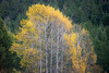 Kittitas, Cle Elum - Clump of turned aspen trees with many leaves blown away