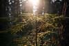 North Cascades, Cascade Pass - Sun backlighting small tree