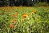 Kittitas, Teanaway - Field of Indian Paintbrush flowers, close up