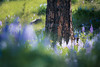 Kittitas, Watts Canyon - Close up of tree trunk framed by lupine