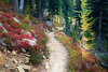 Rainy Pass, Cutthroat Pass - Lone yellow larch tree and red huckleberry bushes alongside the trail