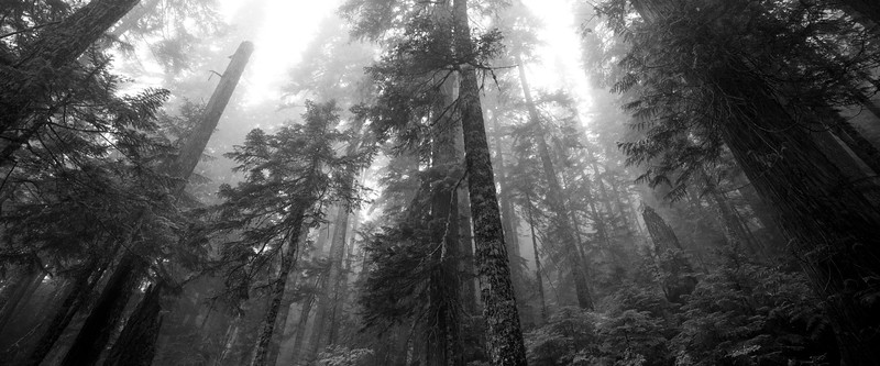 North Cascades, Thornton Lakes - Foggy forest with two snags and trees reaching into the clouds, black and white