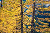 Rainy Pass, Cutthroat Pass - Two yellow larch trees close up, one fuller than the other