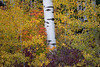 Easton, Lavender Lake - Tall aspen with red and yellow fall foliage