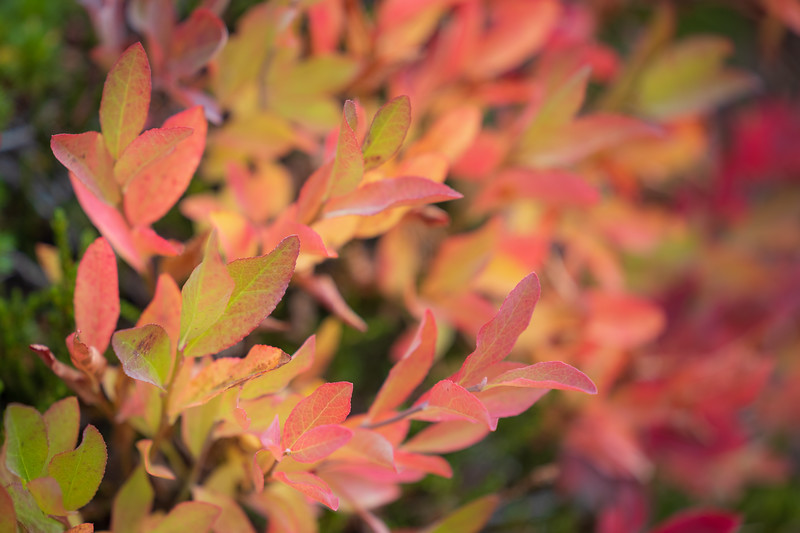 Rainy Pass, Cutthroat Pass - Orange and red leaves of changing huckleberry bushes