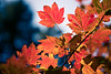 Leavenworth, Tumwater - Backlit maple leaves with one standing out
