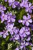 Kittitas, Peoh Point - Small purple flowers close up