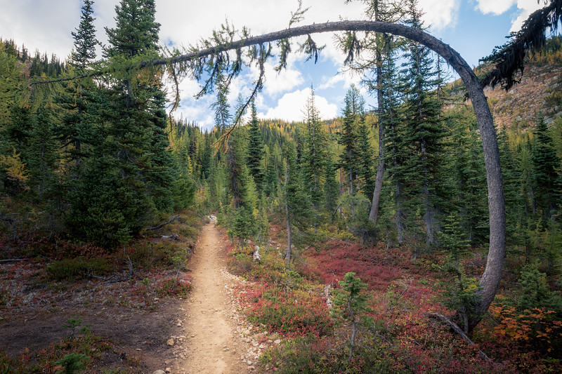 Rainy Pass, Cutthroat Pass - Trail passing beneath unusually curved larch tree