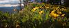 Kittitas, Kachess Beacon - Backlit yellow wildflowers on a ridge