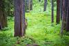 Western, Ross Creek Cedars - Tree stumps in sea of green forest floor