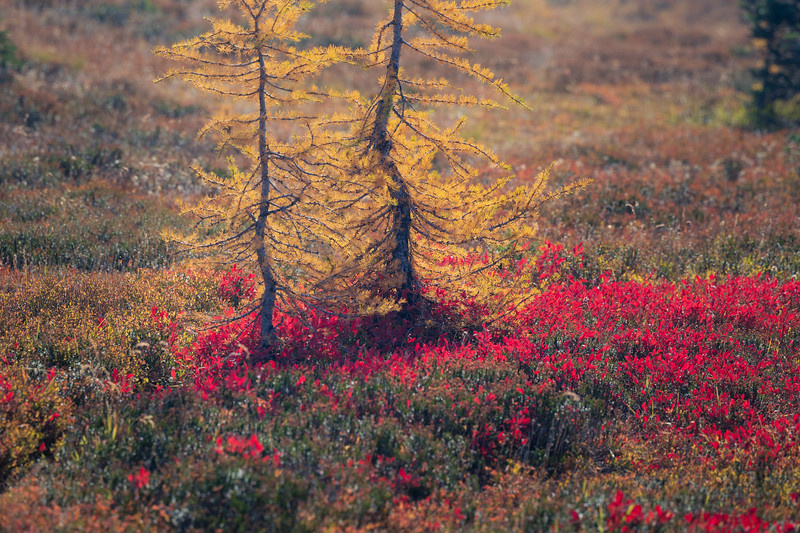 Harts Pass, Windy Pass - Two larch trees and a red carpet