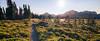 Rainier, Spray Park - Trail winding through meadow of flowers near sunset