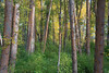 Kittitas, Cle Elum - Tall trees just starting to turn color