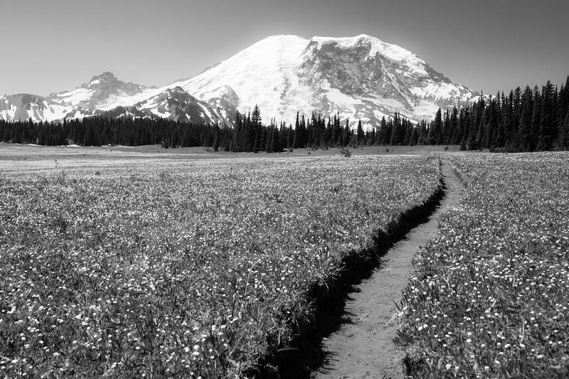Rainier, Grand Park - Trail winding through field of yellow flowers, black and white