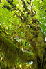 Quinault, Rainforest - Moss covered tree and forest canopy