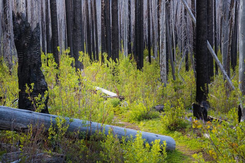 Pasayten, Horseshoe Basin - Green undergrowth in charred forest