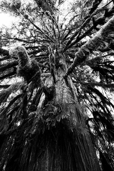 Quinault, Rainforest - Looking up the trunk of a large tree, black and white