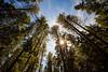 Kittitas, Teanaway - Sunstar through forest canopy