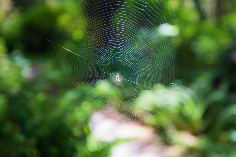 Quinault, Rainforest - Spider in web with forest behind